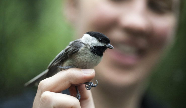 Amber Rice studies hybrid chickadees